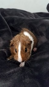 Baby Guinea Pig in Chicago, Illinois