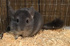 6 Month Old Violet Wrap Male Chinchilla -- very sweet! in Chicago, Illinois