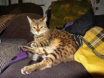 $500.00 REWARD!!! Stolen Female Snow BENGAL CAT 8 yrs. old! in 29 Palms, California