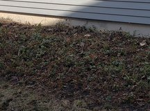 FREE Common Lamium Groundcover in Chicago, Illinois