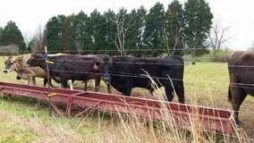 Black cattle in Byron, Georgia