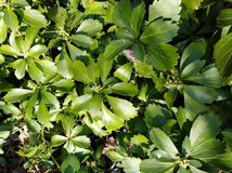 Perennial Evergreen Ground Cover--Pachysandra in Plainfield, Illinois