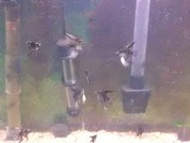 Angel Fish (Fresh Water) Back in stock.  Black and Gold Marbles in Alamogordo, New Mexico