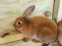 Baby mini rex rabbits in Kingwood, Texas
