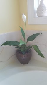 Peace Lily Plant in Etched Brown Ceramic Pot in Fort Campbell, Kentucky