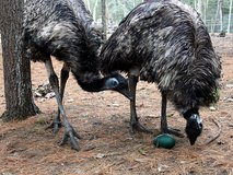 EMU MATING PAIR in Houston, Texas