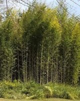 BAMBOO CANES ALREADY CUT NEED TRUCK OR TRAILER FOR PICKUP. Thanks in Warner Robins, Georgia