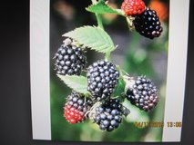 THORNLESS BLACKBERRY PLANTS in Fort Campbell, Kentucky
