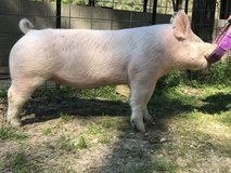 Two crossbred gilts availble in Leesville, Louisiana
