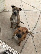 Two female boxer/pit bull mix puppies in Camp Pendleton, California