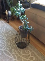 Tall Live Jade Plant with Wire Container in Chicago, Illinois