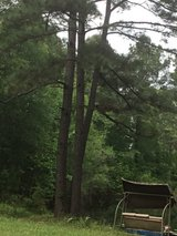 Have many pine trees in Leesville, Louisiana