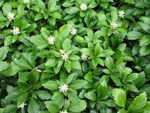 Pachysandra in St. Charles, Illinois