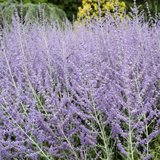 Russian sage plants in St. Charles, Illinois