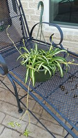 Spider Plant in Hanging Basket in Houston, Texas