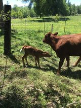 I have cow.  With heifer. for sale with first baby' have a little heifer in Fort Polk, Louisiana