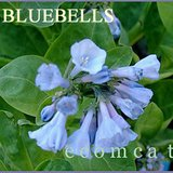 VIRGINIA BLUEBELLS- Native Perennial Plants- Tubers In pots in Bolingbrook, Illinois