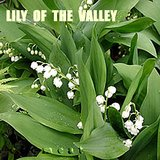 LILY OF THE VALLEY- Fragrant Perennial Plants- In Pots- WHITE in Naperville, Illinois