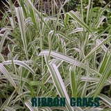Ornamental RIBBON GRASS Variegated Striped Garden Plants in Bolingbrook, Illinois