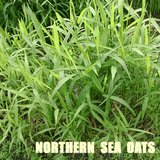 NORTHERN SEA OATS Native Perennial Ornamental Grass in Bolingbrook, Illinois