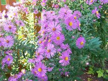 Asters in St. Charles, Illinois