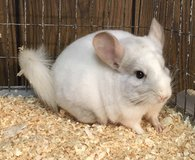 5 Month Old Pink White Male Chinchilla -- spunky! in Chicago, Illinois