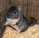 """1 Year Old Standard Grey Female -- energetic! -- """"Poppy"""" in Chicago, Illinois"""