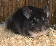 5 Month Old Standard Grey Male Chinchilla in Chicago, Illinois