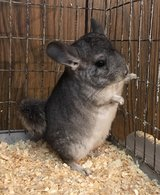 3 Month Old Standard Grey Female Chinchilla Kit (Baby) -- so cute! in Chicago, Illinois
