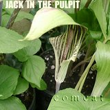 JACK IN THE PULPIT Native Perennial Woodland plants in Bolingbrook, Illinois