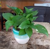 Pothos Plant in Teal/Creme Ceramic Pot in Fort Campbell, Kentucky