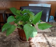 Pothos Plant in Brown Glazed Ceramic Pot in Fort Campbell, Kentucky