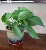 Pothos Plant in Blue/Grey Glazed Ceramic Pot in Fort Campbell, Kentucky