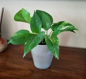 Pothos Plant in Grey Ceramic Pot in Fort Campbell, Kentucky