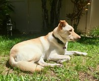 Available for adoption: 2 year-old German Shepherd/Lab mix in Camp Pendleton, California