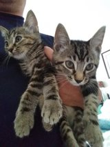 1 male and 1 female kittens in Clarksville, Tennessee