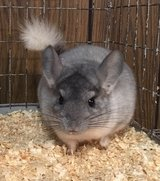 SALE!!  Reduced Adoption Fees @ NWI Chinchillas!  Through May 31st!! in Chicago, Illinois