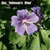 JOHNSON'S BLUE Perennial Geranium Cranesbill plants in pots in Bolingbrook, Illinois