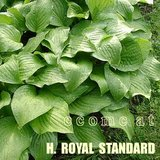 ROYAL STANDARD HOSTA White Flowers potted plants in Chicago, Illinois