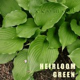HEIRLOOM GREEN HOSTA potted plants in St. Charles, Illinois