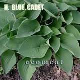 "BLUE CADET HOSTA small leaves, 10"" hi in Chicago, Illinois"