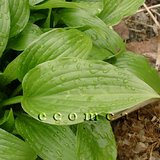 LANCIFOLIA Glossy Groundcover/Edging HOSTA in Westmont, Illinois
