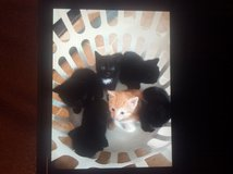 KITTENS in Fort Campbell, Kentucky