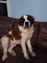 Saint Bernard 1 year in Fort Campbell, Kentucky