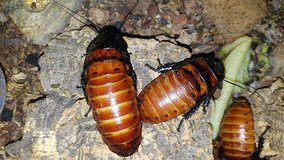 Madagascar Hissing Roaches in Fort Leonard Wood, Missouri