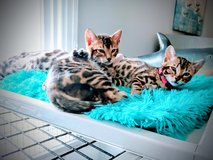 Bengal kittens in Wilmington, North Carolina