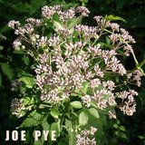 NATIVE JOE PYE PERENNIAL PLANTS Attracts Butterflies in Bolingbrook, Illinois
