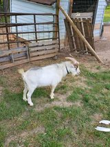 1.5 year old Nigerian dwarf in Fort Campbell, Kentucky