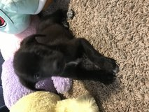 Lab puppies in The Woodlands, Texas