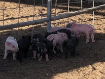 Hampshire Berkshire cross piglets in 29 Palms, California